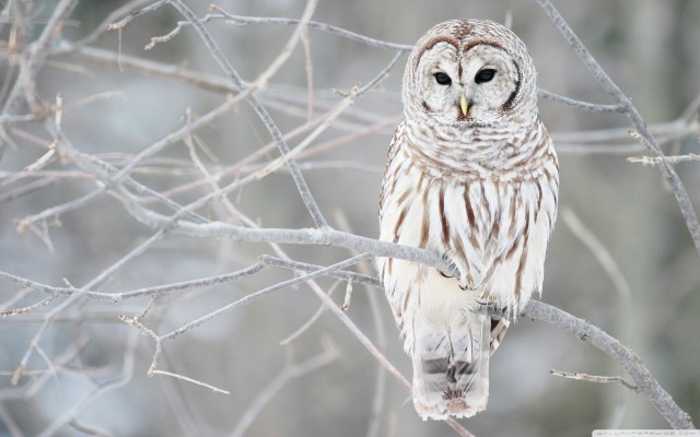 white_owl-wide.medium