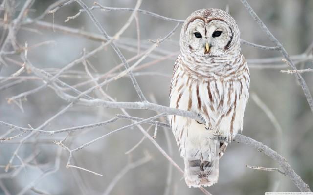 white_owl-wide.medium